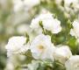 Extrato de Rosa Branca